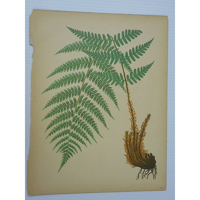 Antique Fern Chromolithographs- Set of 4 - Image 5 of 6