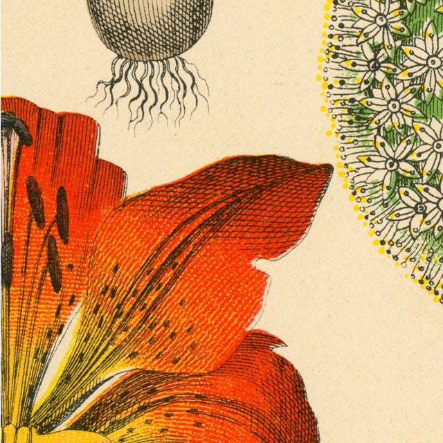 Antique Tiger Lily Botanical Archival Print - Image 4 of 4