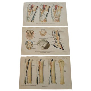 Antique Horse Veterinary Lithographs - Set of 3