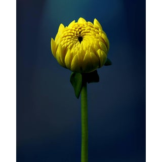 """Yellow Rising"" Photograph"