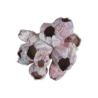 Pink Marine Barnacle Arthropod Specimen