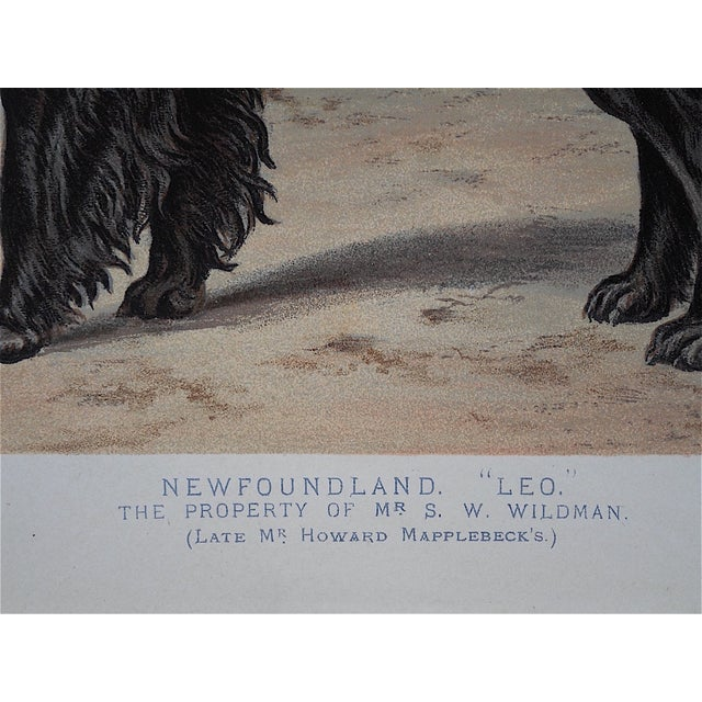 Antique Dog Lithograph - Newfoundland - Image 5 of 5