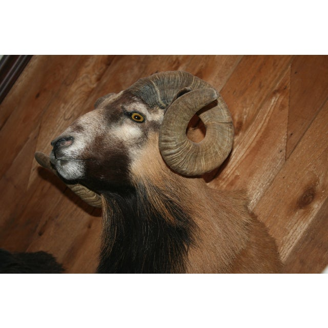 Mouflon Black and Tan Ram Mount - Image 3 of 3
