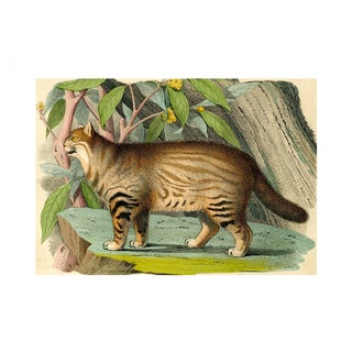 Antique 'Wild Cat' Archival Print