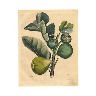 Antique 'Figs' Archival Print