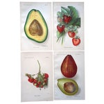 Image of Antique Fruit Lithographs - Set of 4