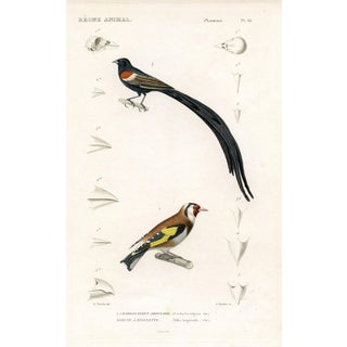 Goldfinch 1850 Print
