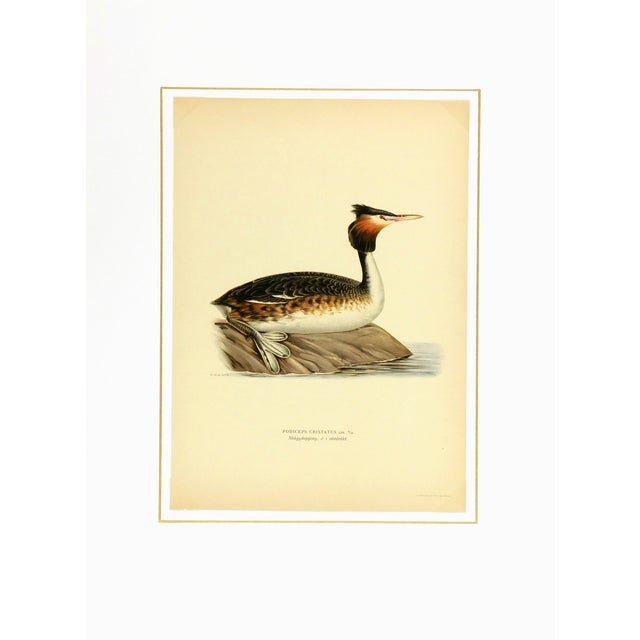 Vintage 1929 Bird Print - Great Crested Grebe - Image 3 of 3