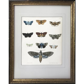 1850s Antique Entomological Moth Lithograph