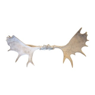 Moose Antler Rack Wall Mount