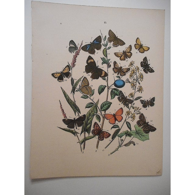 Antique Butterflies/Moths Lithograph Print - Image 2 of 4
