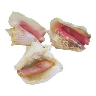 Natural Large Conch Seashells - Set of 3