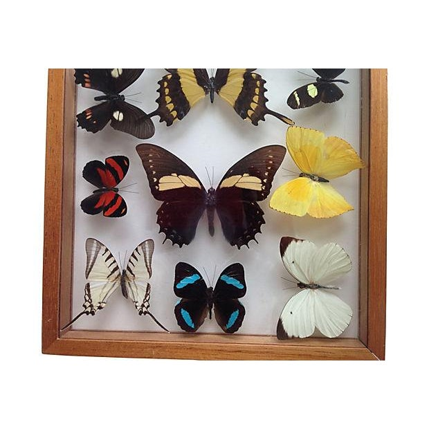 Image of Brazilian Butterfly Collection