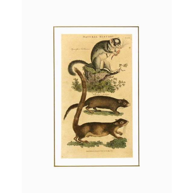 Antique French Engraving, Dormouse & Squirrels, 18 - Image 3 of 3