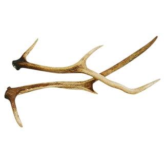 Large Natural Shed Deer Antlers - a Pair