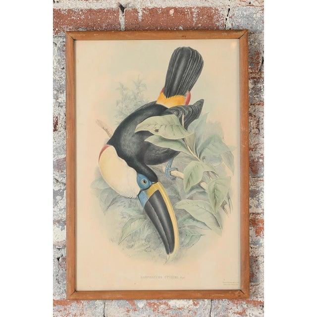 "John Gould ""Ramphatos Cuvieri-Toucan"" Bird Litho. - Image 2 of 8"