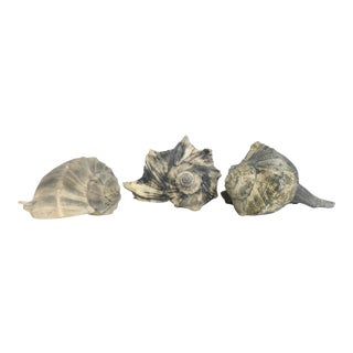 Blue Whelk Seashells - Set of 3