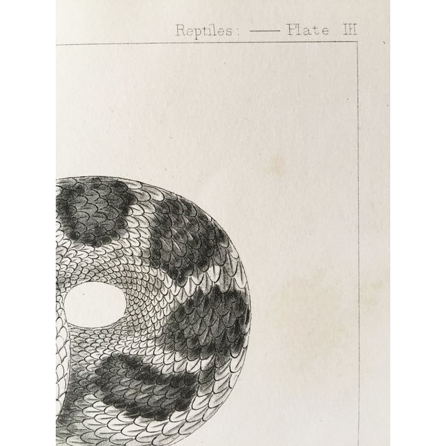 Image of Antique California Rattlesnake Lithograph