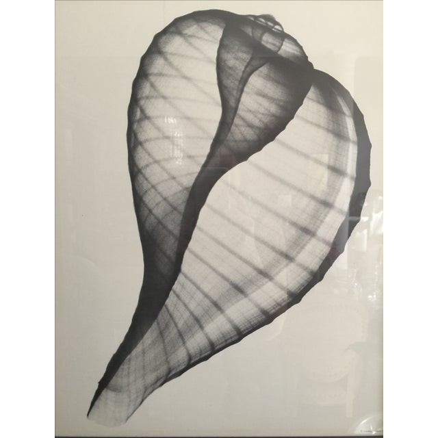 Framed George Green X Ray Fig Shell Ficus Print - Image 3 of 4