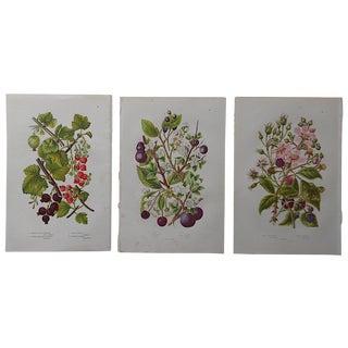 Antique English Botanical Lithographs - Set of 3