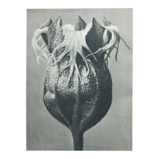 Blossfeldt Double Sided Photogravure