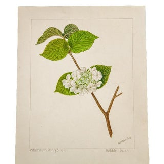 R.H. Greeley Hobble-Bush Botanical Watercolor