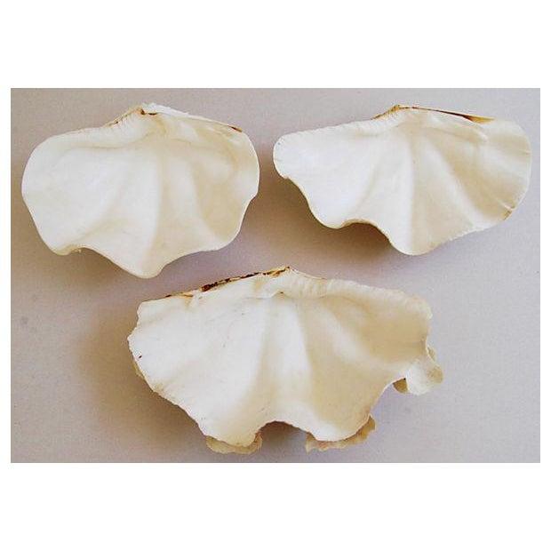 Natural Saltwater Clamshells - Set of 3 - Image 8 of 8