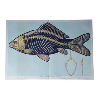 Vintage Fish Anatomy Poster