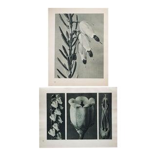Karl Blossfeldt Double Sided Photogravure N93-94