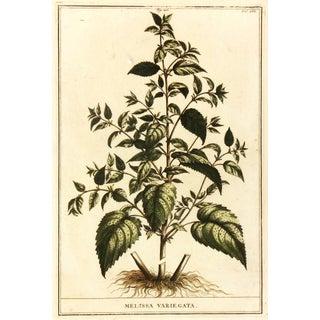 Melissa Variegata Lemon Balm Plant Engraving 1727