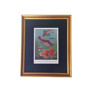 Framed Antique Ocean Fish Lithograph, C. 1900