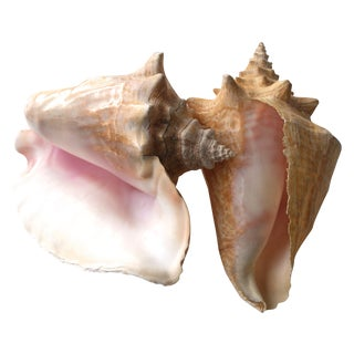 Large Natural Conch Shells - A Pair