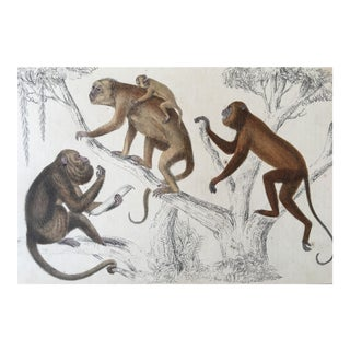 19th Century Goldsmith Howler Monkey Engraving