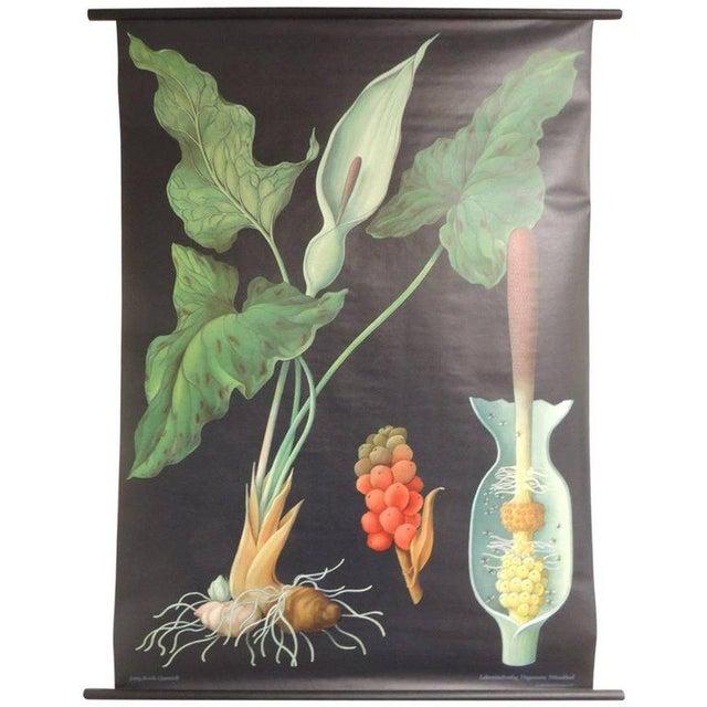 """Vintage Botanical West German Biology Print """"Arum"""" by Hagemann, Germany, 1972 - Image 4 of 4"""