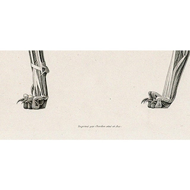 Anatomy of a Cat - Print of Illustration, 1800s - Image 3 of 5