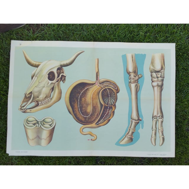 Vintage Anatomy of a Cow Poster - Image 2 of 4