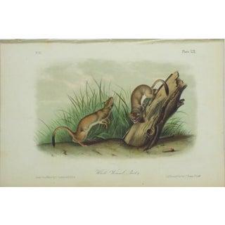 Audubon White Weasel Sloat Lithograph