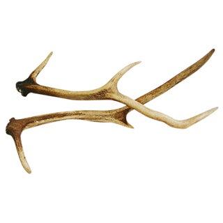 Large Natural Shed Deer Antlers - Pair