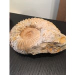 Image of Nautical Ammonite Fossil