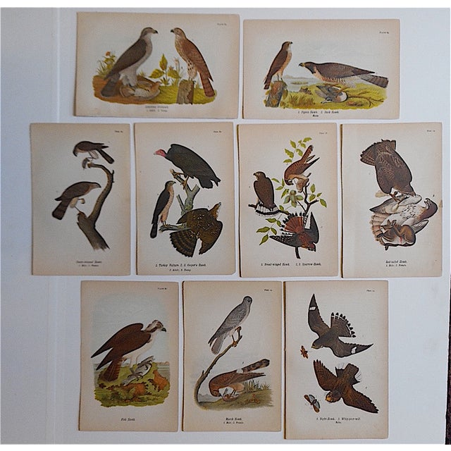 Image of Antique American Bird Lithographs - Set of 9