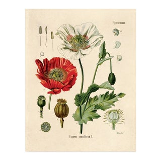 Botanical Opium Poppy Flower Print