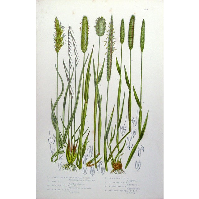 Image of Antique Botanical Grasses Lithograph - A Pair