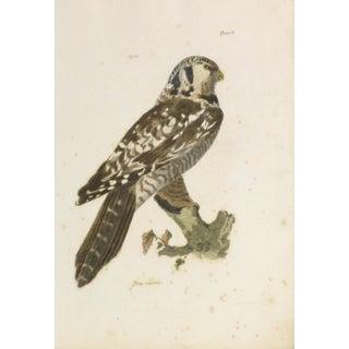 Antique Bird of Prey Engraving Print, C. 1850
