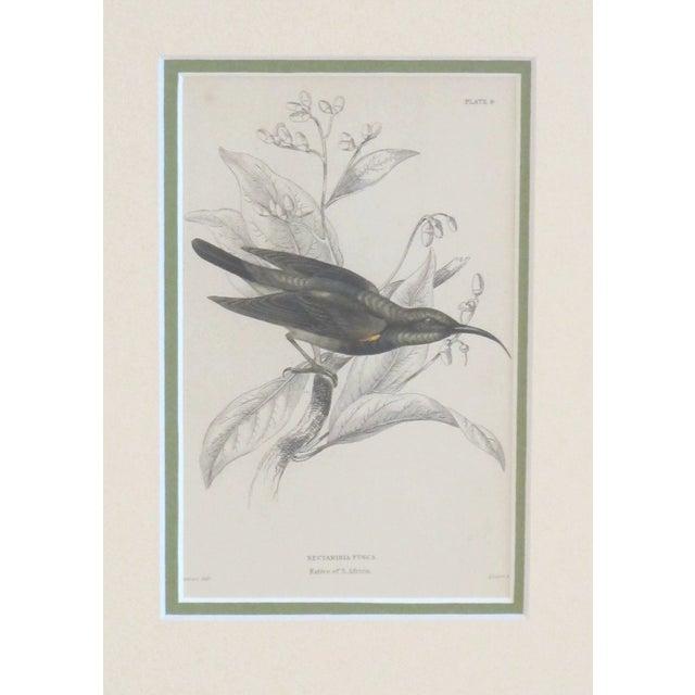 Image of Reserved Framed Vintage Bird Print - C.1850/Fusca