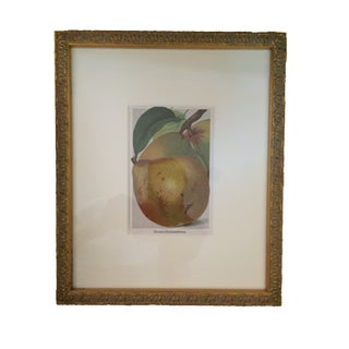 "Vintage Pear Print ""Vereins Dechantsbirne"""