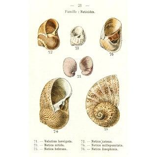 Antique Seashells Print, 1913
