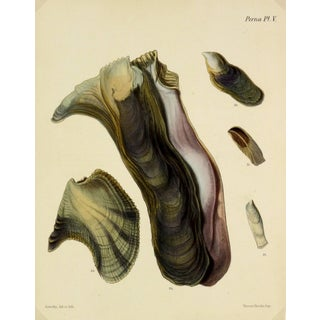 Antique 1878 Sea Shells Oyster Print