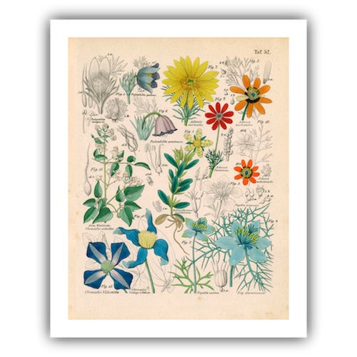 Antique 'Botanical Plate' Archival Print - Image 4 of 4