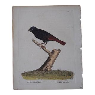E. Albin 18th Century Bird Engraving