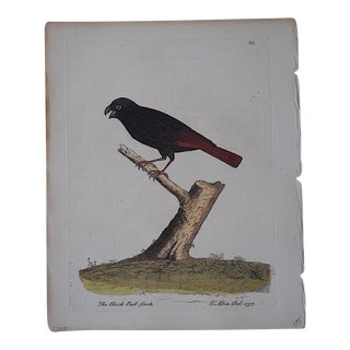 E. Albin 18th Century Bird Engraving